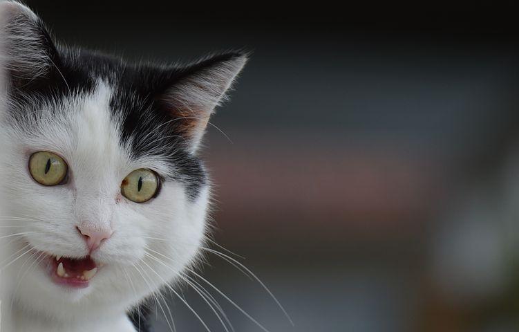 Pourquoi opter pour une laisse pour chat ?